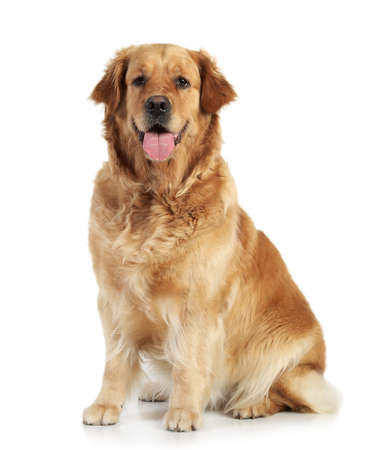 Golden retriever sits on white background