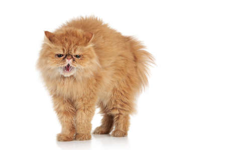 Angry Persian cat on a white background Reklamní fotografie