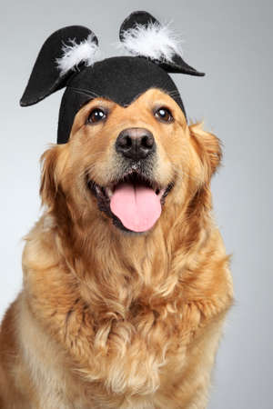 cap hunting dog: Golden Retriever dog in funny cap on grey background