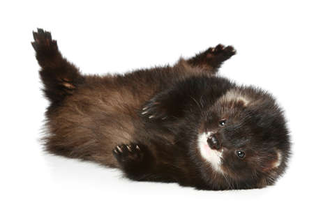 Ferret (Polecat) has a rest on a white background