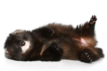 hunter playful: Ferret (Polecat) has a rest on a white background