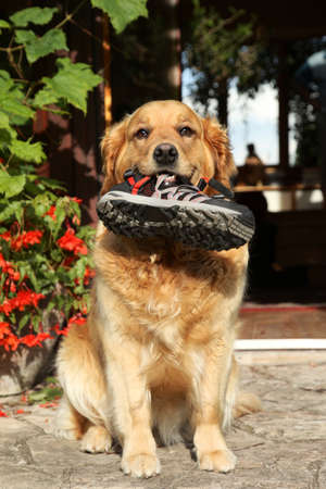 labrador teeth: Trained Golden retriever with a boot in teeth. Outdoor shot