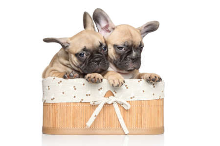 francais: Beautiful French bulldog puppies in basket on a white background