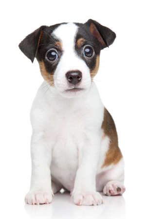 jack russell terrier puppy: Jack Russell dog puppy  Portrait on white background Stock Photo