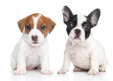 french bulldog puppy: Jack Russell terrier and french bulldog puppies  Close-up portrait on white background Stock Photo