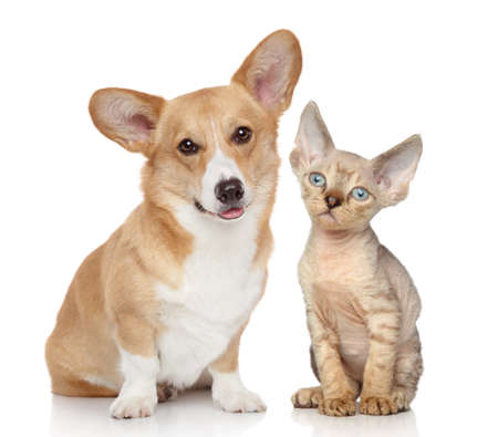 devon: Portrait of a pembroke welsh corgi and devon rex kitten on white background Stock Photo