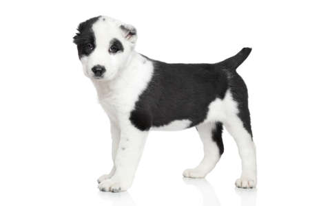 alabai: Alabai - Central asian shepherd puppy standing  Portrait on a white background Stock Photo