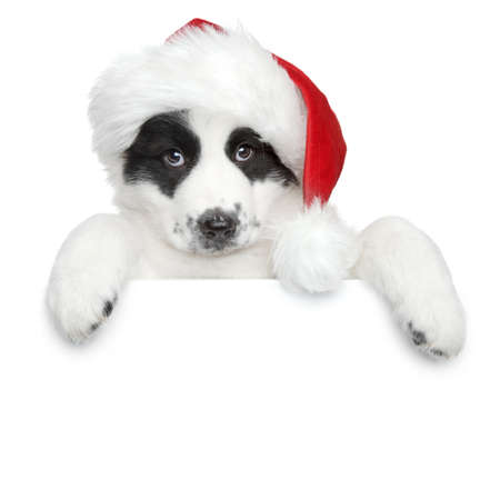 santa cap: Central asian shepherd puppy in Santa red hat on a white banner