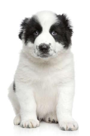 alabai: Central asian shepherd puppy  portrait on a white  Stock Photo