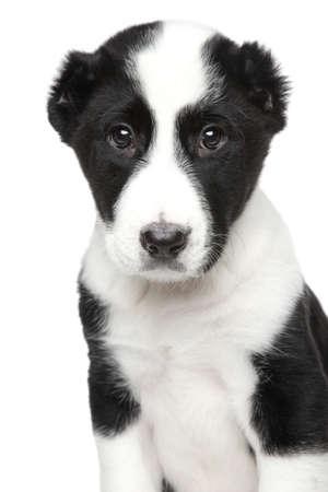 alabai: Alabai puppy Close-up portrait on white
