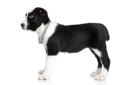alabai: Central asian shepherd puppy standing  Portrait on a white