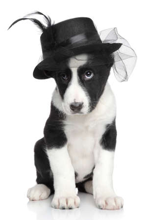 alabai: Central Asian shepherd puppy in fashionable black hat on a white