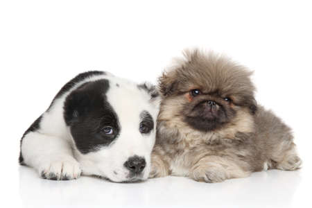 central asia shepherd dog: Central asian shepherd with pekinese puppy together on a white