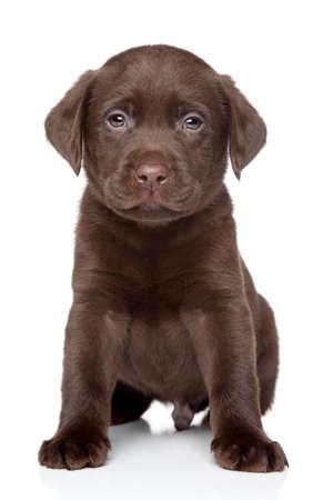 chocolate labrador: Beautiful chocolate Labrador puppy sits on white