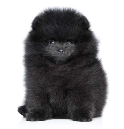 dog toy: Pomeranian spitz puppy on a white
