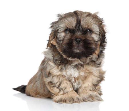 shihtzu: Shih-Tzu puppy, 2 months old on white background Stock Photo