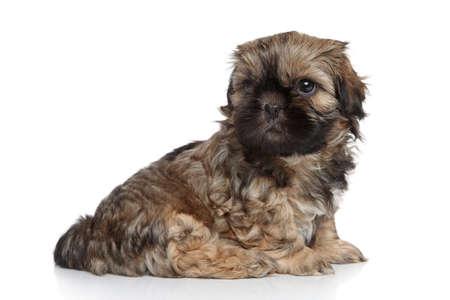shihtzu: Shih-Tzu puppy sitting on a white background Stock Photo