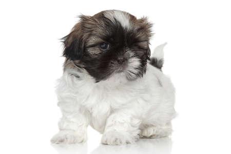 shihtzu: Shih-Tzu puppy, portrait on white background Stock Photo