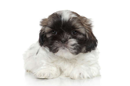 shihtzu: Shih Tzu puppy  2 months old  on white background