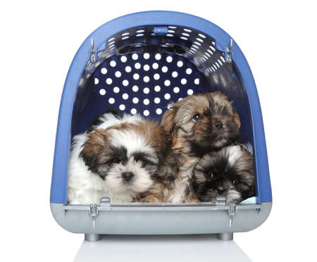 baby carrier: Shih Tzu puppies in plastic carrier, 2 months old  On white background