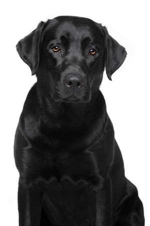 黒ラブラドル ・ レトリーバー犬。白い背景の上の犬の肖像画
