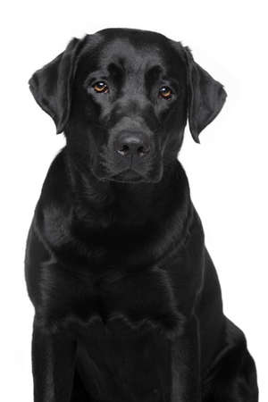 Black Labrador Retriever. Dog portrait on white background Фото со стока