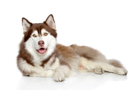白い背景に横たわっている茶色のシベリアン ハスキー犬 写真素材