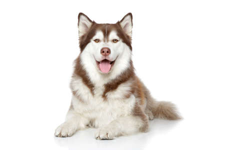 Happy Siberian Husky. Studio portrait on white background