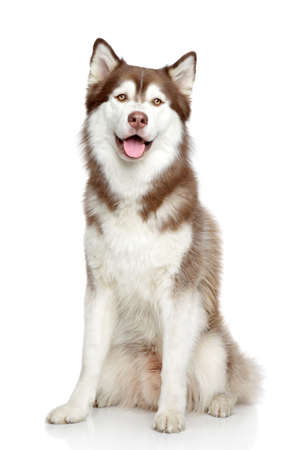 siberian: Happy dog, studio portrait on white background