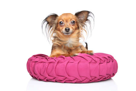toyterrier: Russian Long-haired Toy Terrier lying on pink pillow