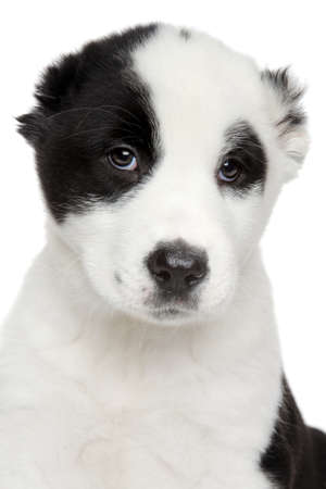 alabai: Central Asian shepherd puppy Close-up portrait on white background Stock Photo