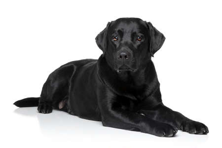 Black Labrador retriever dog lying on white background