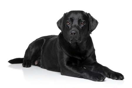 Black Labrador retriever dog lying on white background