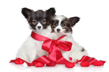 Papillon puppies associated red bow on white background photo