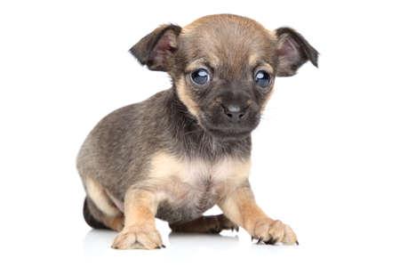 toy terrier: Chihuahua e toy terrier cucciolo di razza mista su sfondo bianco Archivio Fotografico