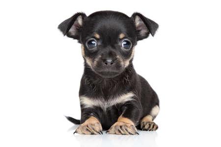 toy terrier: Chihuahua e Toy Terrier cucciolo di razza mista su sfondo bianco