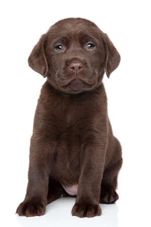 白い背景の上のチョコレートのラブラドール子犬の肖像画