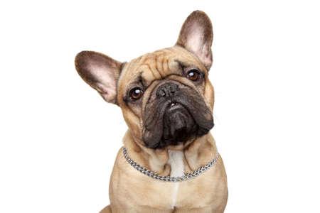Bulldog francés cerca de retrato, aislado más de fondo blanco