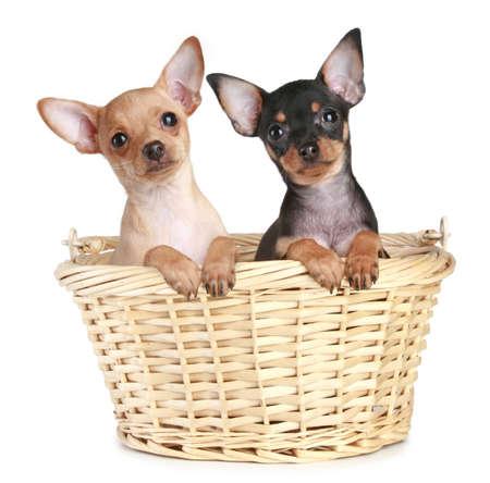 toy terrier: Due toy terrier cucciolo in cestino wattled su sfondo bianco