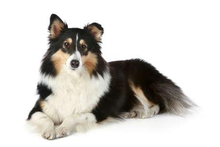 bitch: Shetland Collie dog lying on a white background