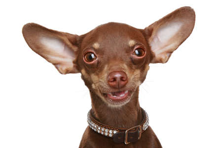 toy terrier: Russian toy terrier Close-up ritratto su uno sfondo bianco