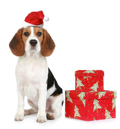 Beagle puppy with Santa hat and Christmas gifts  Isolated on a white background photo
