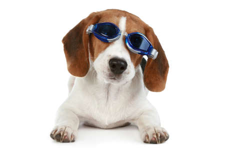 funny glasses: Funny puppy in blue glasses on a white background Stock Photo