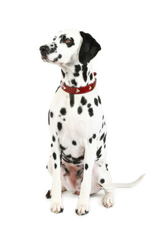 spotty: Dalmatian puppy in front of a white background Stock Photo