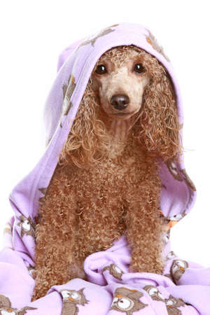 bathing beauty: Apricot poodle after a bath, isolated on white background