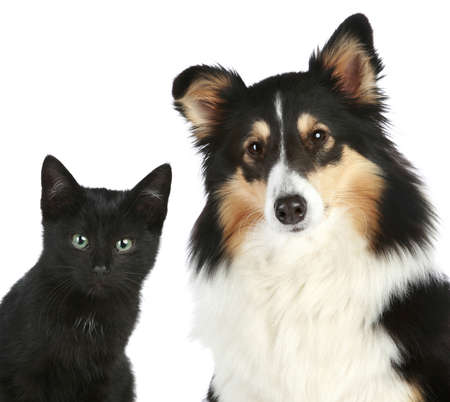 dog cat: Portrait of a kitten and dog Shetland sheepdog  Isolated on a white background
