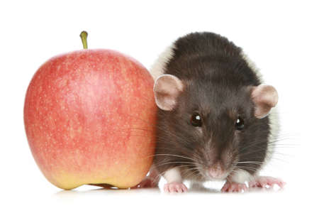 Decorative rat with an apple sits on a white background Stock Photo