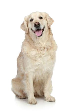 白い背景の上に座っているゴールデン ・ レトリーバー犬