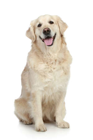 Golden Retriever dog sitting on a white background