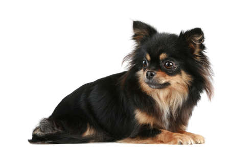 long haired: Long-haired Chihuahua lies on a white background  Stock Photo